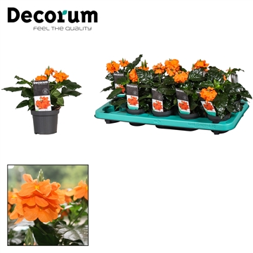 Crossandra Fortuna 9 cm Royal Offer