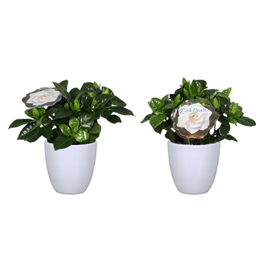 Gardenia 9 Julia pot White