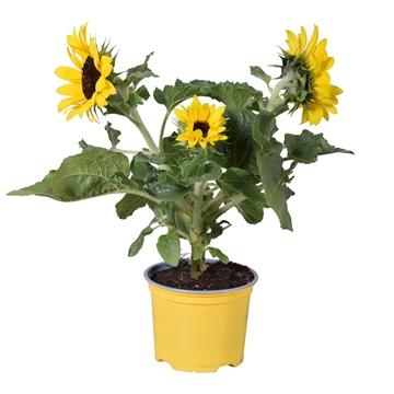Helianthus Sunsation Multiflower