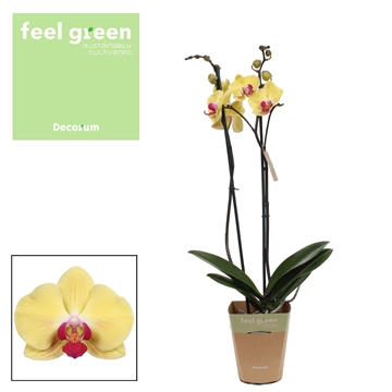 Phalaenopsis feel green 2-Tak Goldion 60 cm R2-3