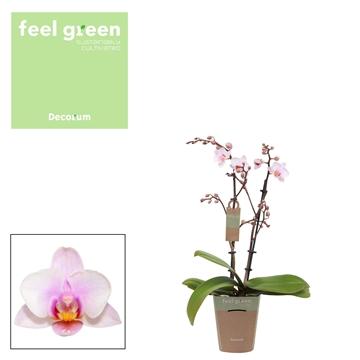 Phal. Steffi 8 - 2 spike 9cm Feel Green