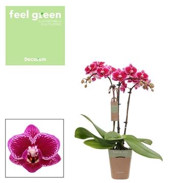 Phal. Hornglin - 3 spike 9cm Feel Green