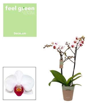 Phal. Daisy - 2 spike 9cm Feel Green