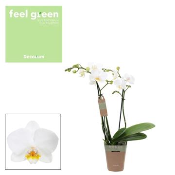 Phal. Snowflake - 2 spike 9cm Feel Green