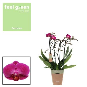 Phal. Morelia - 4 spike 12cm Feel Green