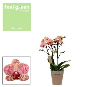 Phal. Spring - 3 spike 12cm Feel Green