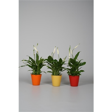 Spathiphyllum 9 cm 'Chopin®' diverse kleuren foxtrot overpot