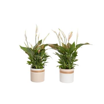 Winterbliss - Spathiphyllum 12 cm in Joy