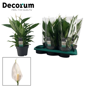 Spathiphyllum 17 cm 'Torelli' Decorum