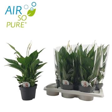 Spathiphyllum 17 cm 'Torelli' Air So Pure