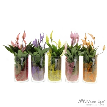 Spathiphyllum 13 cm 'Bellini®' Make-upz