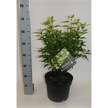 Prunus l. 'angustifolia'