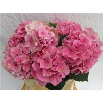 Royal Class roze