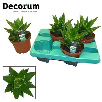 Aloe perfoliata