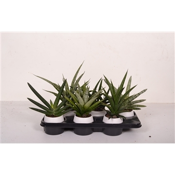 Sansevieria regular mix in wit keramiek