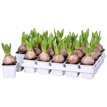 Artikel #104350 (FP156-01056: Hyacinthus White Pearl)