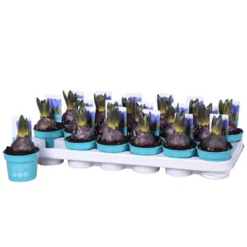 Hyacinthus Blue Star 'Diamond Collection'