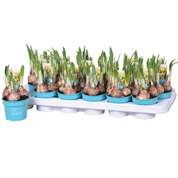 Narcis Jet fire 'Diamond Collection'
