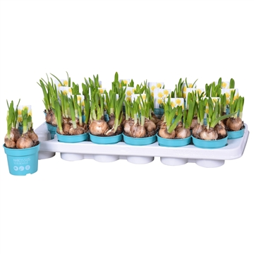 Narcis dubbel geel boucle