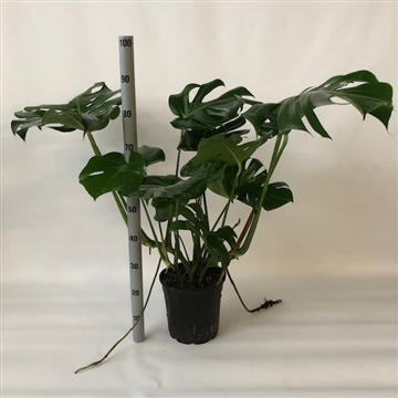 monstera pot 24cm 4stek