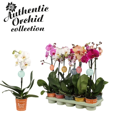Phal. Mix - 1 spike 12cm Authentic