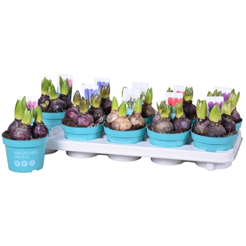 Hyacinthus 'Diamond Collection gemengd