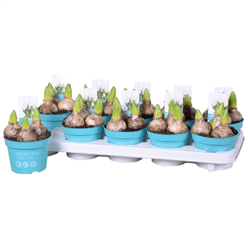 Hyacinthus White Pearl 'Diamond Collection'