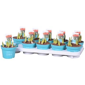 Tulipa Orange Princess 'Diamond Collection'