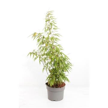 Fargesia murieliae 'Rufa'