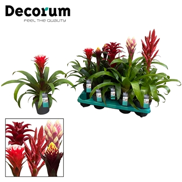 Guzmania Special mix (Decorum)