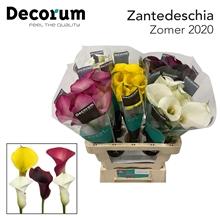 Zantedeschia Mixed.