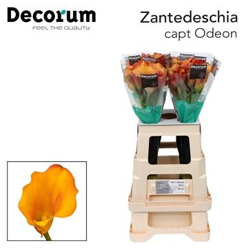 Zantedeschia Captain Odeon