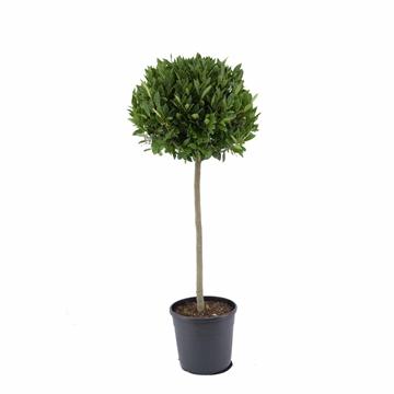 Laurus nobilis Bol op stam