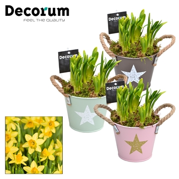Narcis Star Bucket Maxi HL10643N