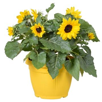 Helianthus 'Sunsation' Multiflower in terras pot