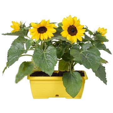 Helianthus 'Sunsation' Multiflower in duobak