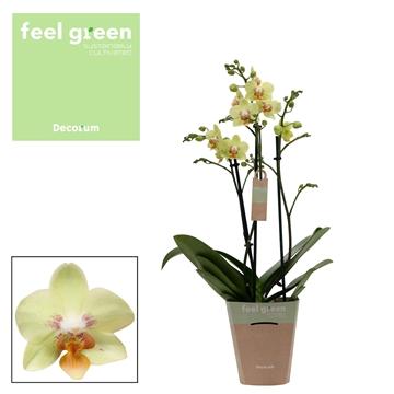 Phal. Sunshine - 3 spike 12cm Feel Green