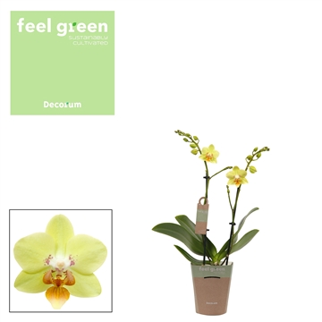 Phal. Sunshine - 2 spike 9cm Feel Green