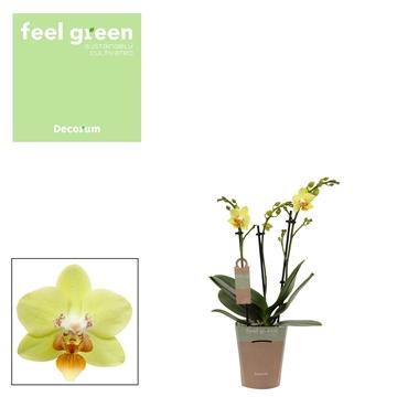 Phal. Sunshine - 3 spike Feel Green