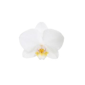 Phal. Snowflake - 1 spike 9cm