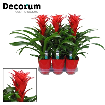 Guzmania Sensation Luxe Keramiek (Decorum)