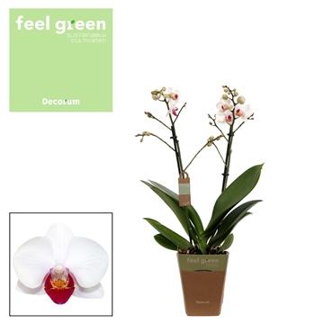 Phal. Daisy - 2 spike 12cm Feel Green