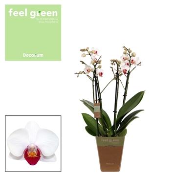 Phal. Daisy - 4 spike 12cm Feel Green