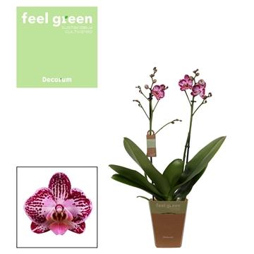 Phal. Coco 24 - 2 spike 12cm Feel Green