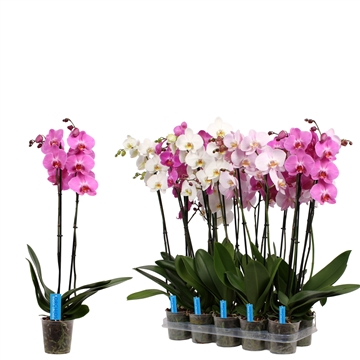 Phal. White Purple Pink mix - 2 spike 12cm  Better Label