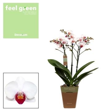 Phal. Daisy - 3 spike 12cm Feel Green