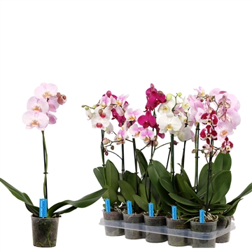 Phal. White Purple Pink mix- 1 spike 12cm  Better Label