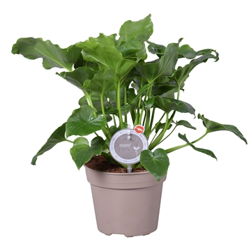 MoreLIPS® Philodendron Selloum