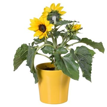 Helianthus 'Sunsation' Multiflower in geel Bombé keramiek
