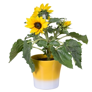 Helianthus 'Sunsation' Multiflower in 2tone Bombé keramiek